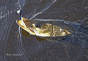 Flyfishing Prints - Snook Slider Print by Alex Suescun