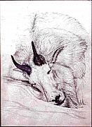 Mountain Goat Drawings - Snooze on a Snowpatch by Dy Witt