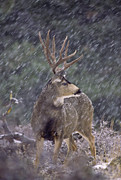 Mule Deer Buck Photograph Photos - Snow Buck by D Robert Franz