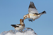 Action Animals Framed Prints - Snow Bunting Dance Framed Print by Mircea Costina Photography