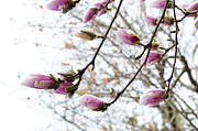 Snow Capped Magnolia Tree Blossoms 2 Print by Andee Photography