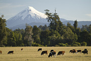 Dairy Farming Framed Prints - Snow-capped Osorno Volcano Framed Print by Abraham Nowitz