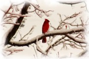 Photographs With Red. Digital Art Prints - Snow Cardinal Print by Janet Pugh