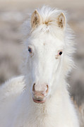 Wild Horse Prints - Snow Colt Print by Carol Walker