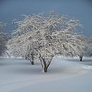 Snow-covered Apple Tree Print by Erica Carlson