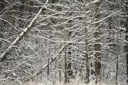 Winter Trees Photos - Snow Covered Branches by Carson Ganci