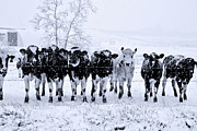 Another Time Prints - Snow Covered Cows 2 Print by John Radosevich