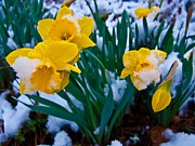 Ilendra Vyas Framed Prints - Snow Covered Daffodil Flower Framed Print by ilendra Vyas