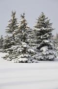 Snow-covered Landscape Prints - Snow Covered Evergreen Trees Calgary Print by Michael Interisano