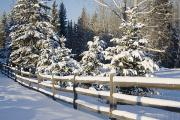 Snow Covered Fence Framed Prints - Snow-covered Evergreens And Rustic Framed Print by Michael Interisano