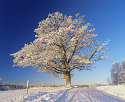 Quercus Prints - Snow Covered Oak Tree (quercus Robur) Print by Bjorn Svensson