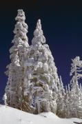 Snow-covered Landscape Posters - Snow-covered Pine Trees On Mount Hood Poster by Natural Selection Craig Tuttle