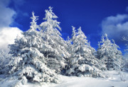 Pine Trees Art - Snow-covered pine trees by Thomas R Fletcher