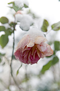 Snow Covered Photo Framed Prints - Snow-covered rose flower Framed Print by Frank Tschakert