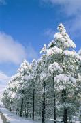Fir Trees Posters - Snow-covered Trees, Coconino National Poster by Rich Reid