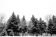 Cold Temperature Art - Snow Covered Trees by Gail Shotlander