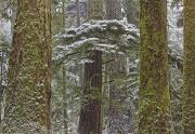 Macmillan Framed Prints - Snow Covered Trees In Cathedral Grove Framed Print by Robert Postma