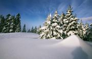Winter Scenes Rural Scenes Prints - Snow Covered Trees In The Oregon Print by Natural Selection Craig Tuttle