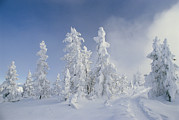 Fir Trees Photos - Snow-covered Trees, West Thumb Geyser by Raymond Gehman
