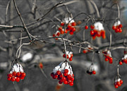 Winter Scenes Rural Scenes Framed Prints - Snow covered winter red berries Framed Print by LeeAnn McLaneGoetz McLaneGoetzStudioLLCcom