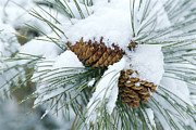 Pine Cones Framed Prints - Snow Covers A Bundle Of Pine Needles Framed Print by Rich Reid