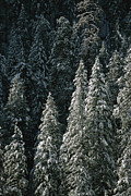 Winter Scenes Photos - Snow Covers A Forest Of Evergreen Trees by John Burcham