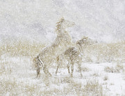 Wild Horses Prints - Snow Day for the Mustangs Print by Carol Walker