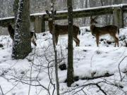 Zoo Pyrography Prints - Snow Deer - Rock Creek Park Washington DC Print by Fareeha Khawaja