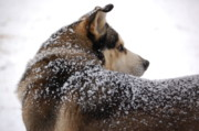 Frisky Photo Posters - Snow Dog Poster by Eddy Bateman