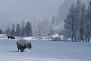 Winter Scenes Photos - Snow Dusted American Bison Forage by Tom Murphy