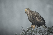 Eagle-eye Metal Prints - Snow Eagle Metal Print by Andy Astbury