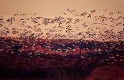 Flocks Posters - Snow Geese, Bosque Del Apache, New Poster by Robert Postma