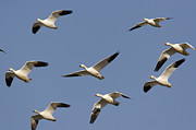 Flying Snow Goose Prints - Snow Geese Flock Flying Tule Lake Print by Sebastian Kennerknecht