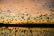 Flying Snow Goose Prints - Snow Geese Flying At Sunrise Bosque Del Print by Sebastian Kennerknecht