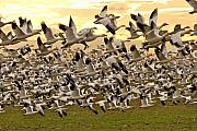 Snow Geese Framed Prints - Snow Geese in Flight Framed Print by Craig Perry-Ollila