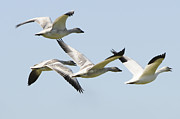 Snow Geese Posters - Snow Geese in Flight Poster by Lawrence Christopher