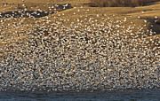 Geese Digital Art Posters - Snow Geese on Lake Canada Poster by Mark Duffy