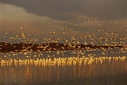 Strength In Numbers Posters - Snow Geese On Swans Cove Pool At Sunset Poster by Raymond Gehman