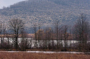 Snow Geese Photos - Snow Geese Rising by William Jobes