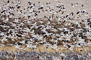 Flying Snow Goose Prints - Snow Geese Taking Flight With Sandhill Print by Sebastian Kennerknecht