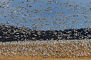 Snow Geese Photos - Snow Geese  by William Jobes