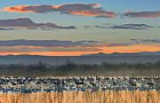 Crane Migration Prints - Snow Goose And Sandhill Crane Print by Tim Fitzharris