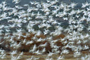 Flying Snow Goose Prints - Snow Goose Chen Caerulescens Flock Print by Tom Vezo