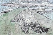 Goose Drawings - Snow Goose in Flight using Quill Pens and Ink with Watercolor Washes. by John Fowler