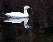 Snow Goose Prints - Snow Goose Print by Paul Ward
