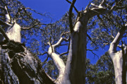 Eucalyptus Prints - Snow Gums of Kosciusko National Park Print by Alex Cassels