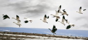 Snow Geese Posters - Snow In Flight Poster by Emily Stauring