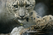 Snow Leopards Prints - Snow Leopard 11 Print by Ernie Echols
