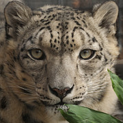 Snow Leopards Prints - Snow Leopard 13 Print by Ernie Echols