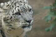 Snow Leopards Prints - Snow Leopard 8 Print by Ernie Echols
